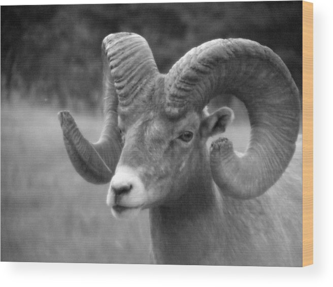 Animal Wood Print featuring the photograph Soft Finish Ram by Tiffany Vest