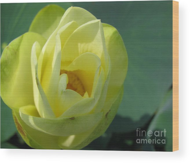 Lotus Wood Print featuring the photograph Softly by Amanda Barcon