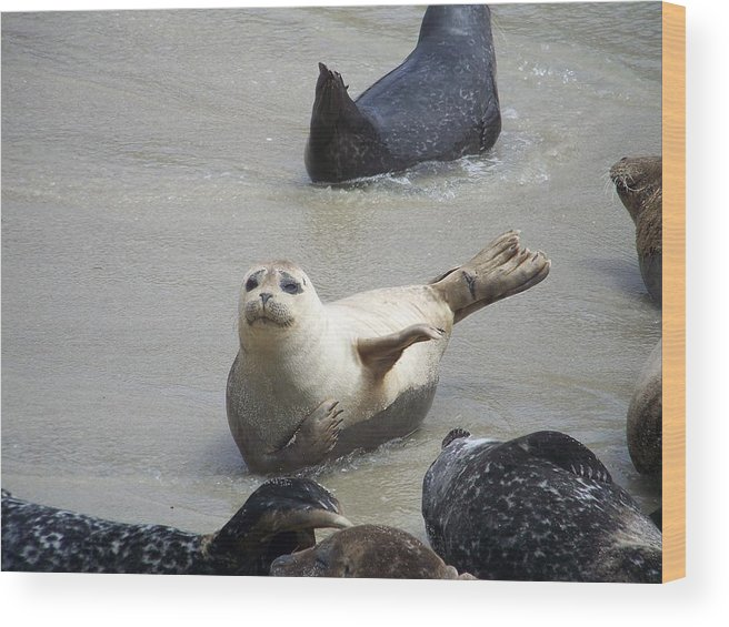 Seals Wood Print featuring the photograph Southern California Resident by Keith Senecal
