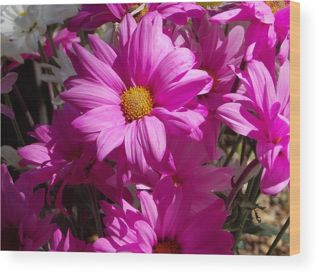 Daisy.flower Wood Print featuring the photograph Spring by Bob Johnson