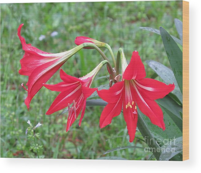 St. Joseph Lily Wood Print featuring the photograph St. Joseph's Lily by Charles Green