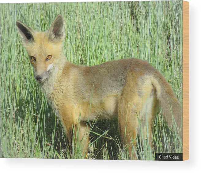 Colorado Wood Print featuring the photograph Steamboat Fox by Chad Vidas
