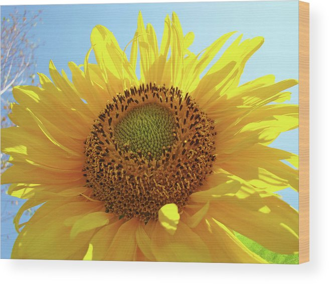 Sunflower Wood Print featuring the photograph Sun Flowers Art Sunflower Giclee Prints Baslee Troutman by Baslee Troutman