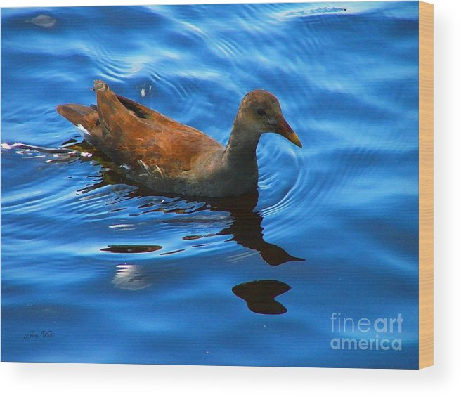 Waterfowl Wood Print featuring the photograph Swimming by Judy Waller
