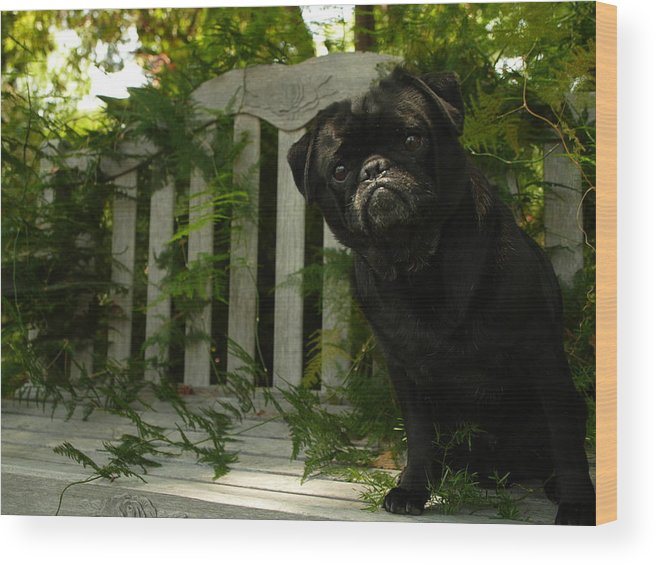 Furtograph Wood Print featuring the photograph The Black Pug Marley by Kareem Farooq