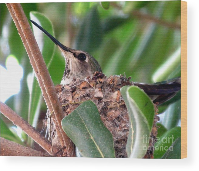 Humming Bird Wood Print featuring the photograph The Gift Of Spring by PJ Cloud