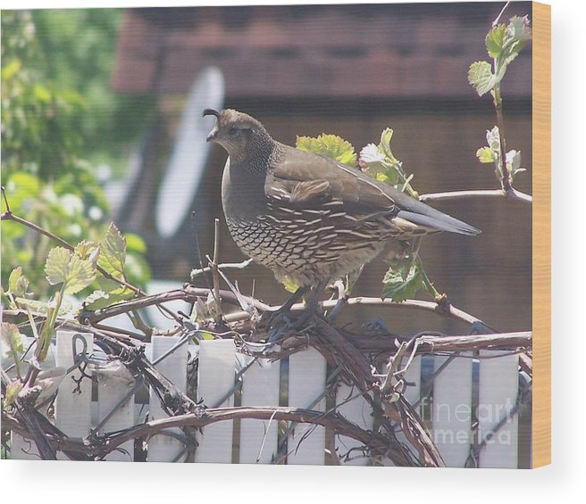 Quail Wood Print featuring the photograph The Mrs. by Karli Martin