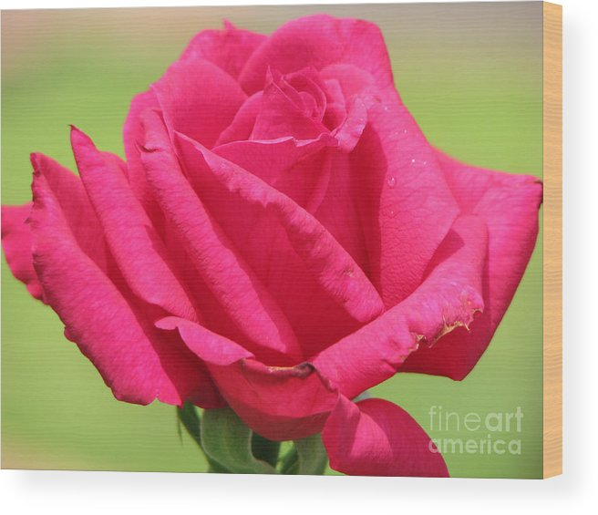 Roses Wood Print featuring the photograph The Rose by Amanda Barcon
