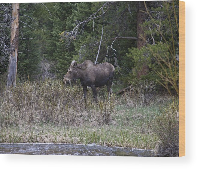 Moose Wood Print featuring the photograph Thirsty Cow Moose by Theo Bauder