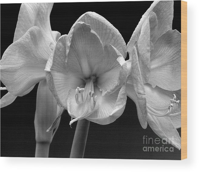 Amaryllis Wood Print featuring the photograph Three Amaryllis Black And White Print by James BO Insogna