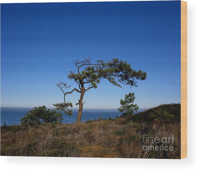 Torrey Pines Wood Print featuring the photograph Torrey Pines Tree by PJ Cloud