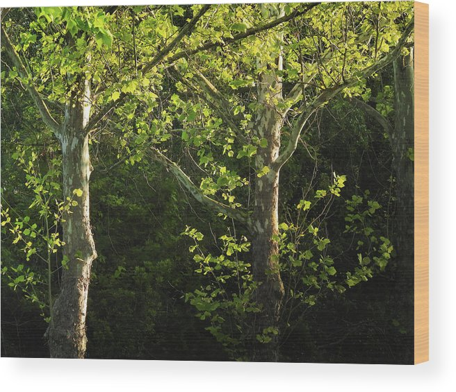 Maple Wood Print featuring the photograph Branches Of Lovely Light by Laura Ragland