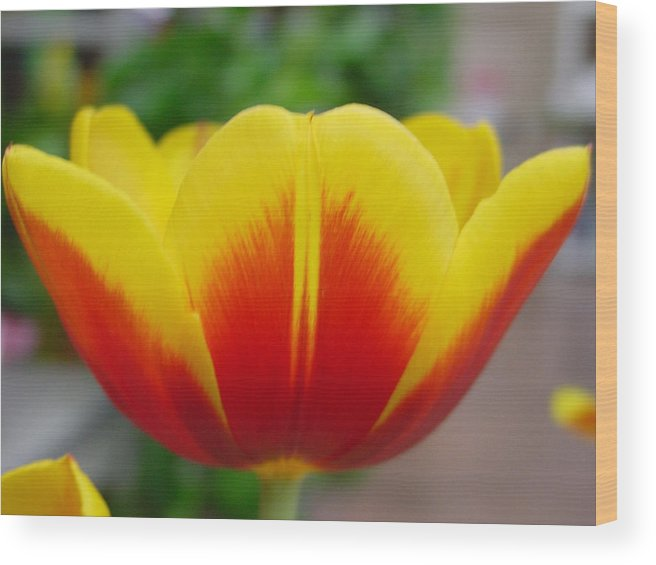 Tulip. Flower Wood Print featuring the photograph Tulip by Kathy Bucari