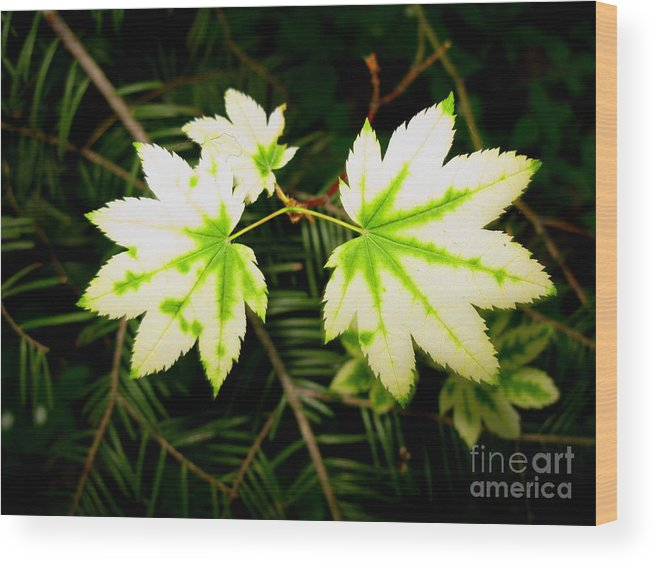 Plant Wood Print featuring the photograph Variegated Vine Maple by PJ Cloud