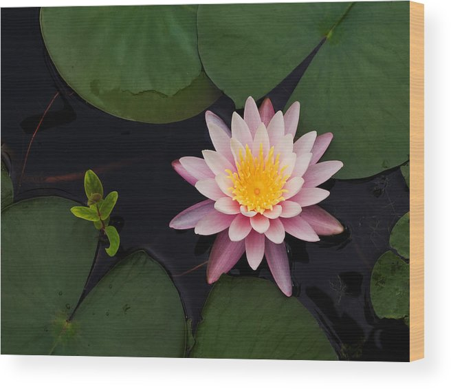 Water Wood Print featuring the photograph Waterlily - Study In Pink by Jim DeLillo