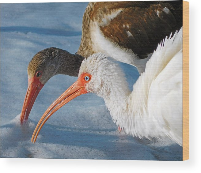White Ibis Wood Print featuring the photograph White Ibises by Robb Stan