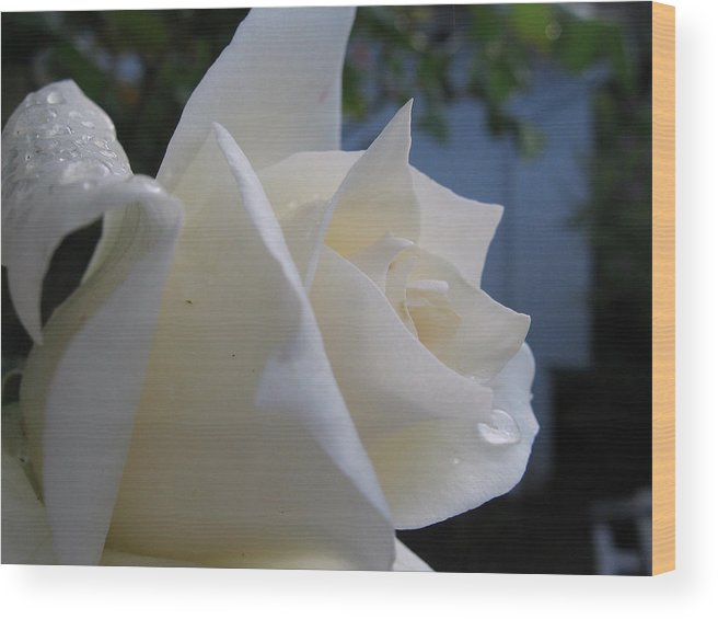 Floral Wood Print featuring the photograph White Rose With Dew Drops by Kathy Roncarati