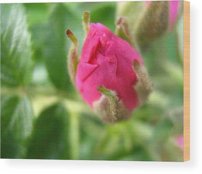 Rose Wood Print featuring the photograph Wild Rose Bud by Melissa Parks