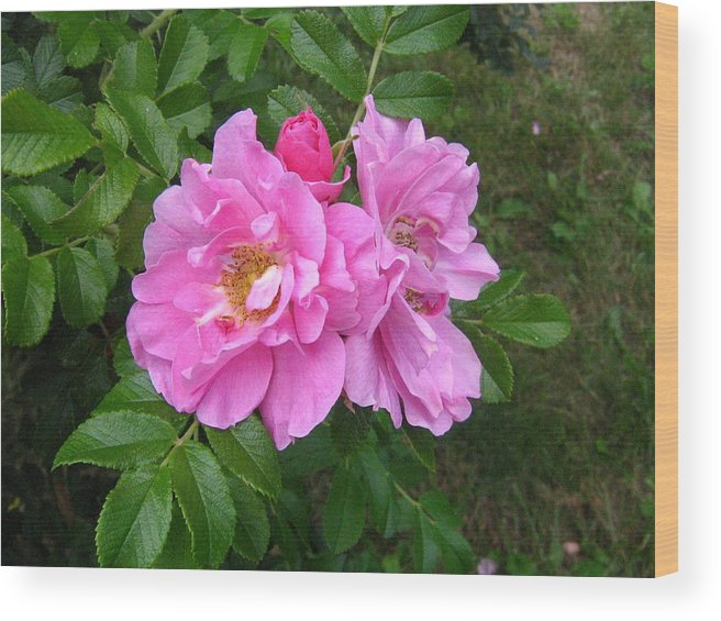 Rose Wood Print featuring the photograph Wild Roses by Melissa Parks