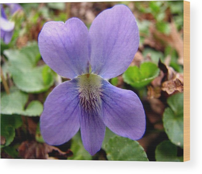 Violet Wood Print featuring the photograph Wild Violet 2 by J M Farris Photography