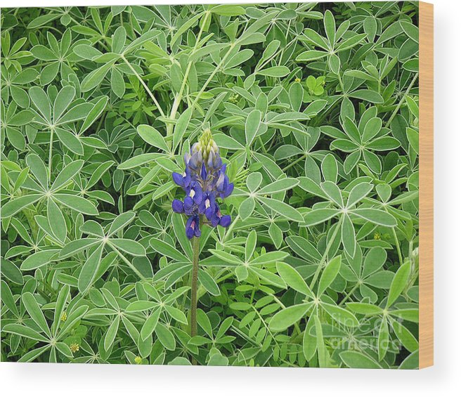 Nature Wood Print featuring the photograph Wildflowers - All Alone And Blue by Lucyna A M Green