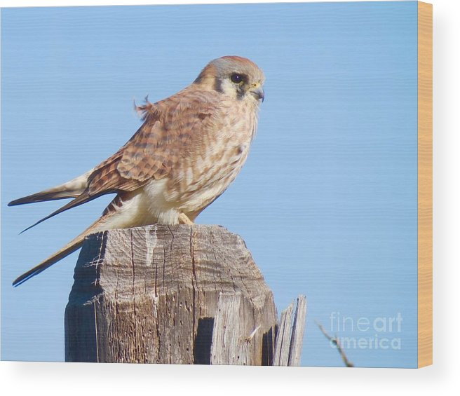 Kestrel Wood Print featuring the photograph Wind Blown by Aimee Mouw