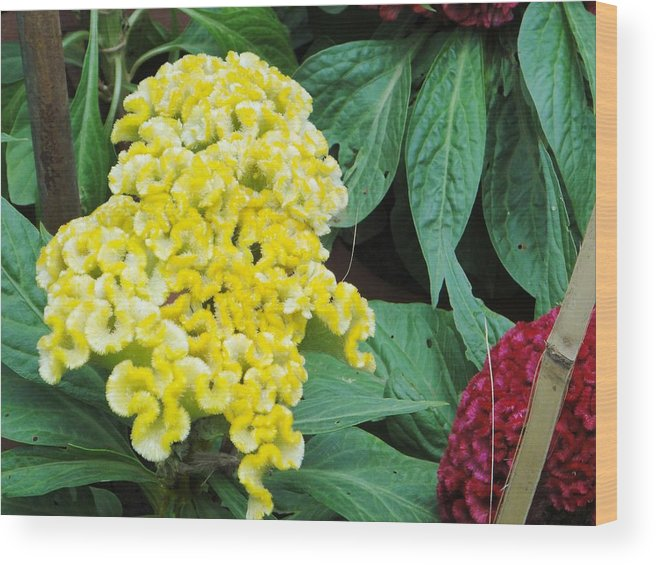 Wood Print featuring the photograph Yellow Cockscomb by Usha Shantharam