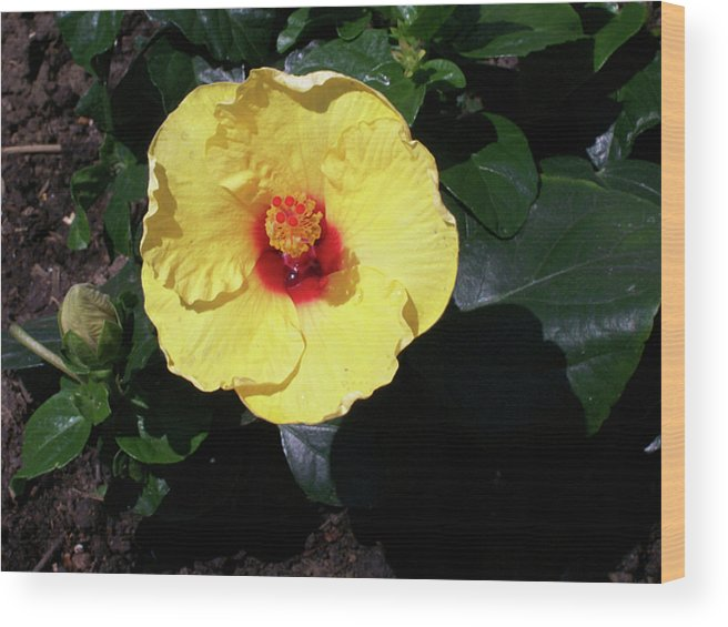 Flower Wood Print featuring the photograph Yellow Hibiscus by Corinne Elizabeth Cowherd