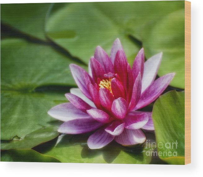 Water Lily Wood Print featuring the photograph Among The Lily Pads by Claudia Kuhn