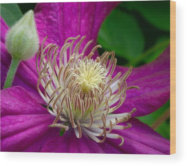 Clematis Wood Print featuring the photograph Dr. Seuss Flower No. 7636 And Bud by Georgette Grossman