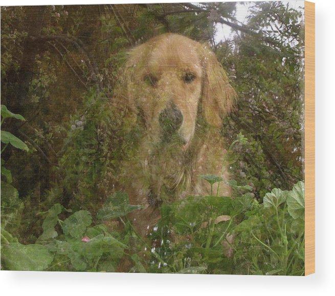 Golden Retriever Wood Print featuring the photograph Elton's Window by Darlene Grubbs