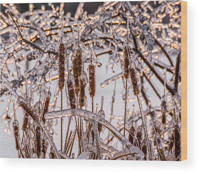 Steve Harrington Wood Print featuring the photograph Icy Cattails by Steve Harrington