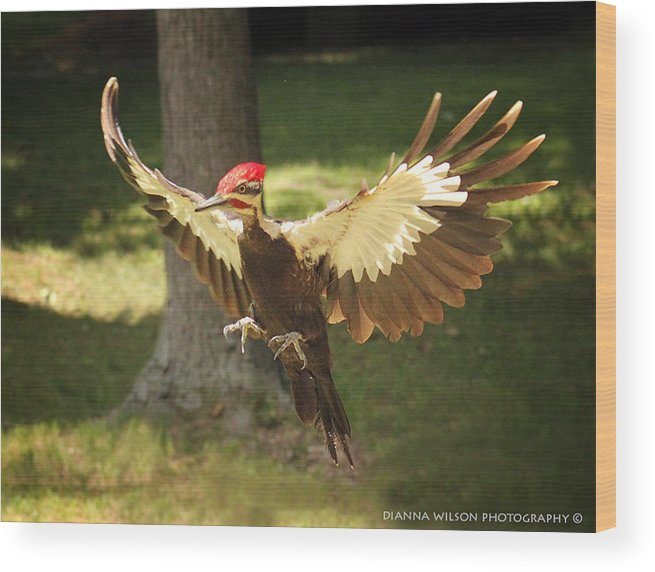 Pileated Woodpecker Wood Print featuring the photograph Incoming Pileated by Dianna Wilson