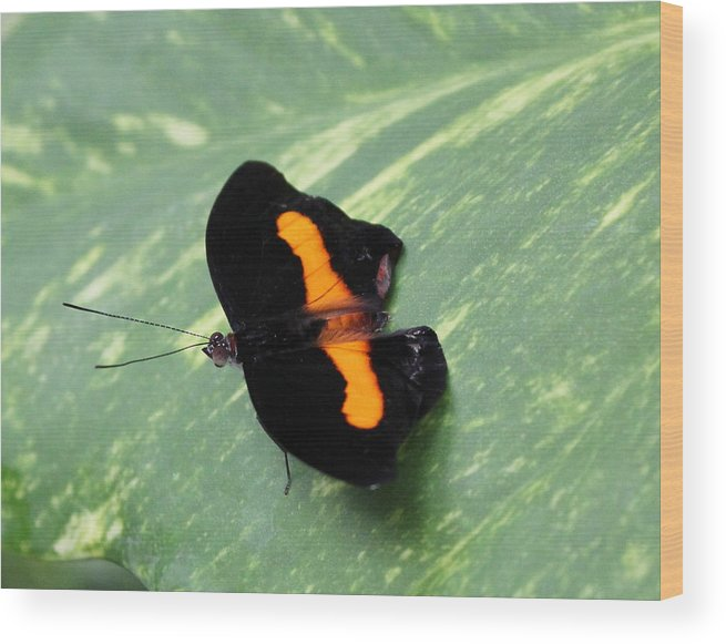 Butterfly Wood Print featuring the photograph Orange Banded Shoemaker by Trent Mallett