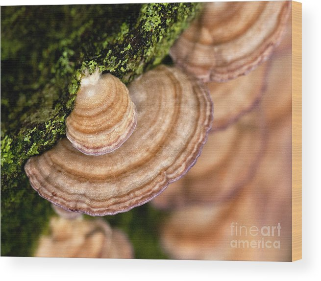 Fungus Wood Print featuring the photograph Striped by Claudia Kuhn