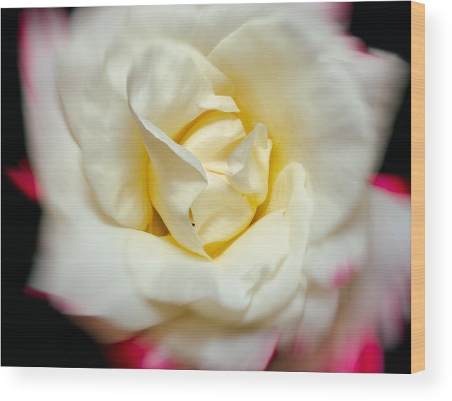 Rose Wood Print featuring the photograph Whirling Rose by Georgette Grossman