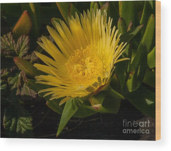 Flowers Wood Print featuring the photograph Yellow Flower 1.7103 by Stephen Parker