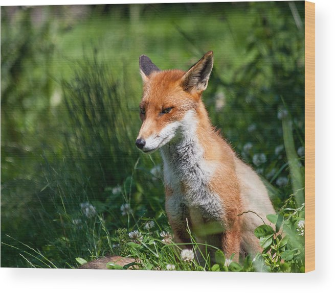 British Wildlife Centre Wood Print featuring the photograph A British Red Fox by Dawn OConnor