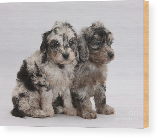 Doxie-doodle Pups Wood Print