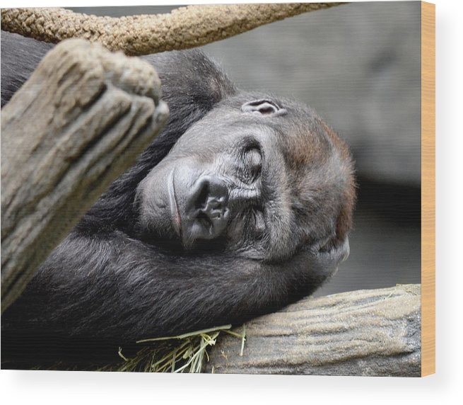 Gorilla Wood Print featuring the photograph Rhythm Of The Day by Julie Palencia