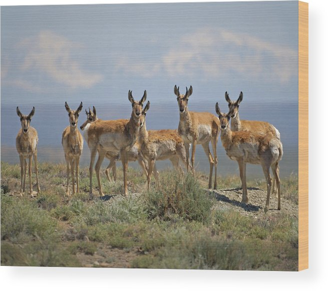 Antelope Wood Print featuring the photograph Antelope by Heather Coen
