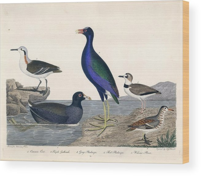 Alexander Wilson Bird Prints American Ornithology 1829 Wood Print featuring the painting Bird Prints American Ornithology by MotionAge Designs
