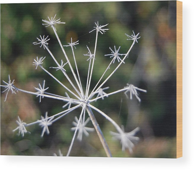Stalk Wood Print featuring the photograph Brittle Stars by Jean Booth
