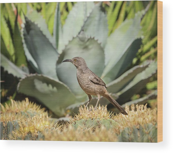 Curve-billed Thrasher Wood Print featuring the photograph Curve-billed Thrasher-img_814418 by Rosemary Woods-Desert Rose Images