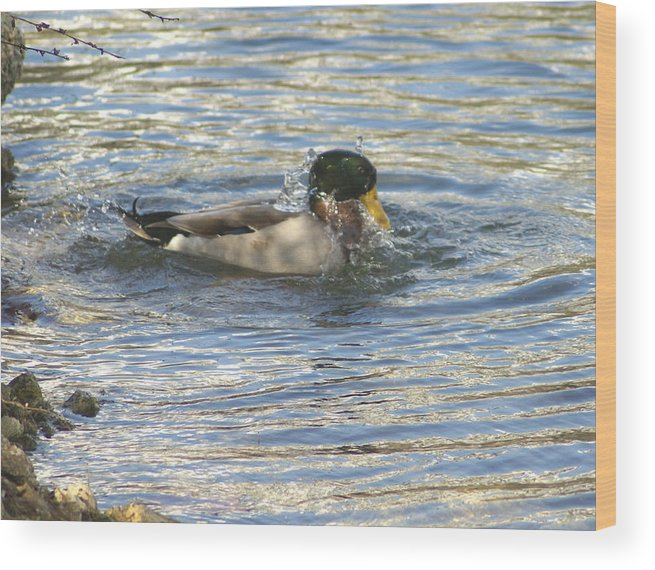 Ducks Wood Print featuring the photograph Just Ducking Around by Debbie May