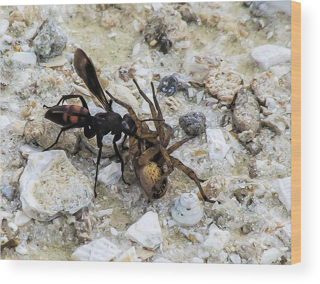 Wasp Wood Print featuring the photograph Mud Dauber Wasp And Prey by Edelberto Cabrera