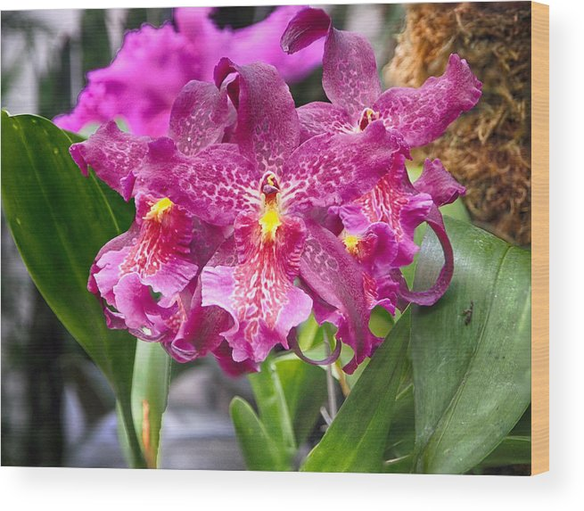Orchid Wood Print featuring the photograph Orchid Aliceara Marfitch by C H Apperson