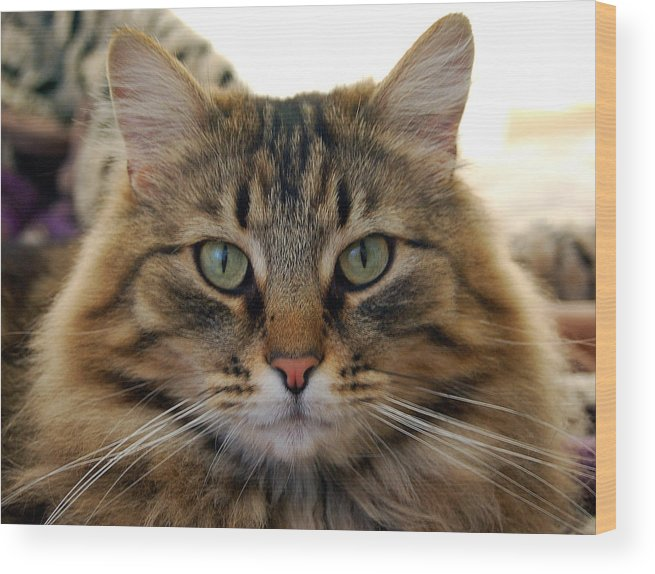 Cats Wood Print featuring the photograph Quentin by Heather S Huston