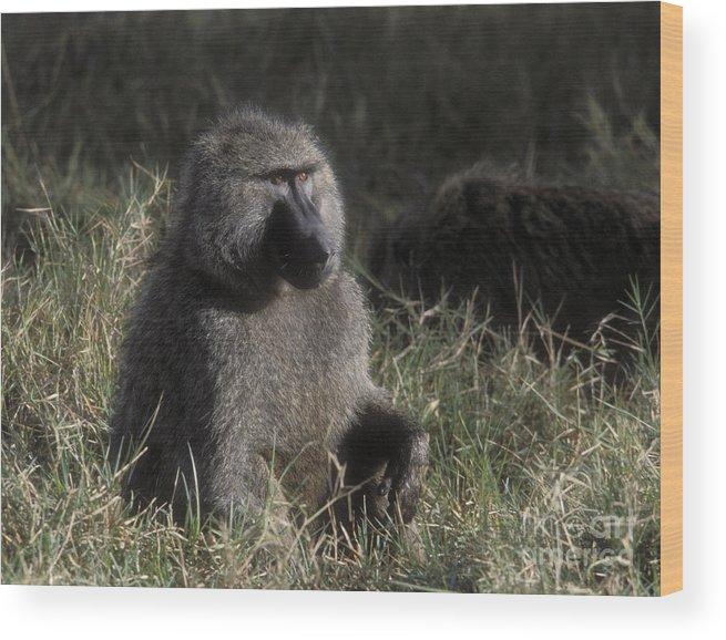 Baboon Wood Print featuring the photograph Savannah Olive Baboon by Sandra Bronstein