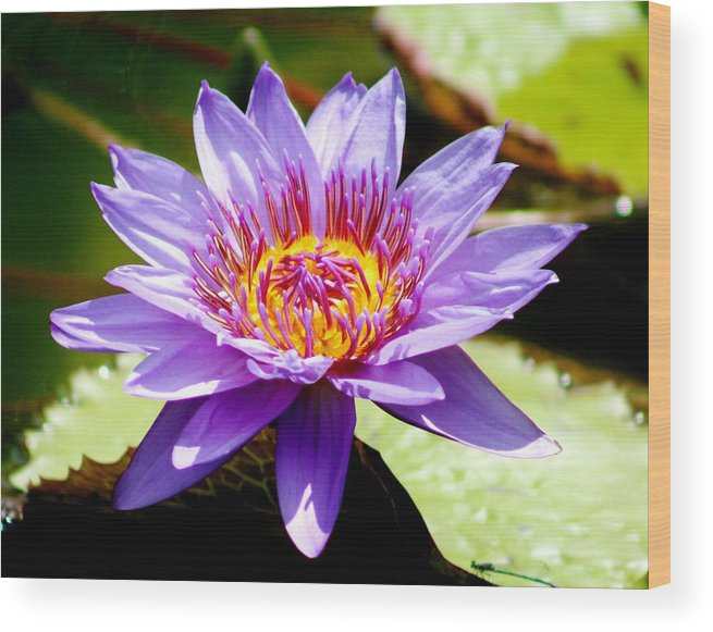Karen Silvestri Wood Print featuring the photograph Spiky Sunshine by Karen Silvestri